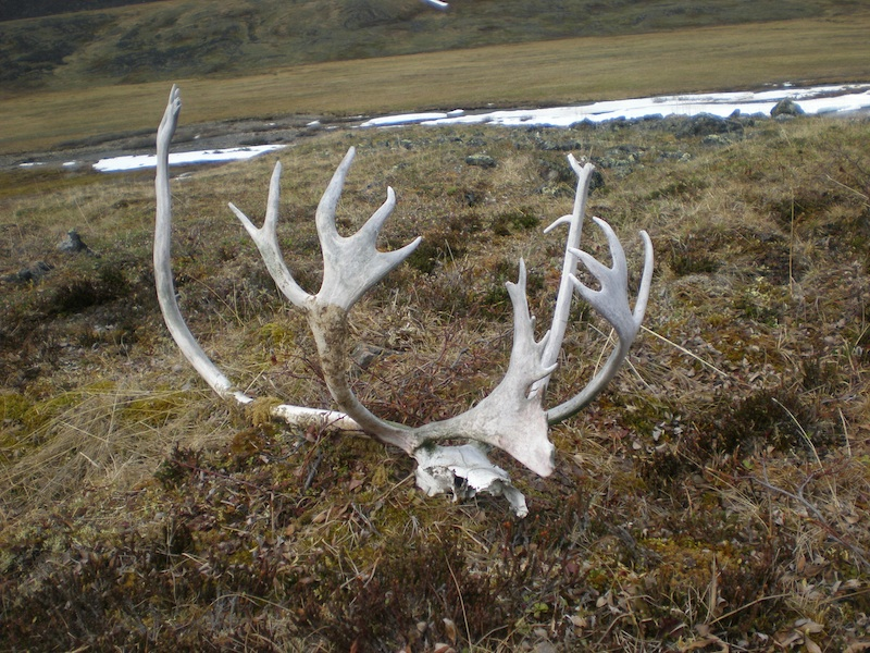 Caribou skull in the Brooks Range's wild and remote Okpikruak Valley